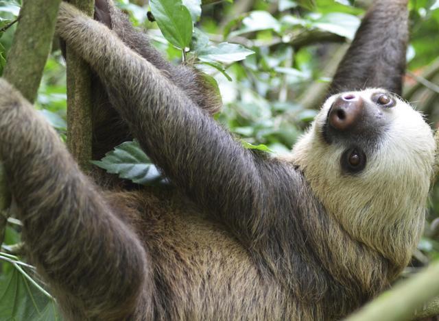 7-interesantes-datos-sobre-el-curioso-perezoso-de-tres-dedos-un-animal-adorable